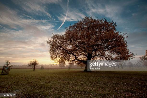 red oak at sunrise - oak tree stock pictures, royalty-free photos & images