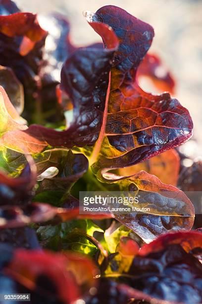 Red oak leaf lettuce, close-up