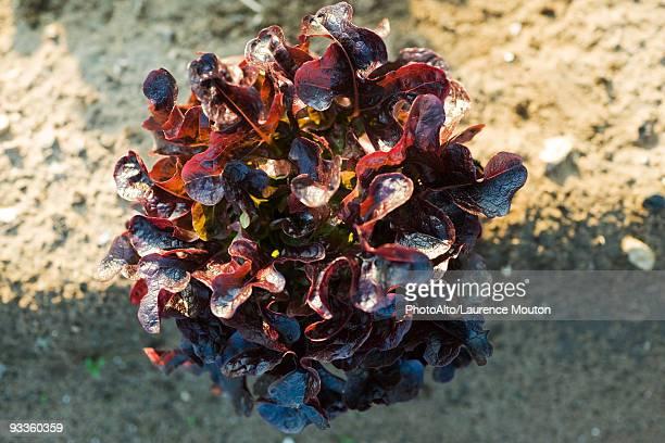 Red oak leaf lettuce growing in garden