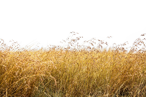 Red Oat Grass Isolated 836854114