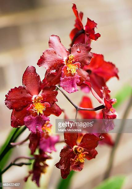 Red Odontoglossum Orchid in Bloom