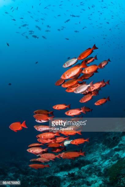 red on blue - branco di pesci foto e immagini stock