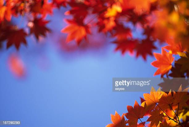 red & orange leaves against the blue sky - november background stock photos and pictures
