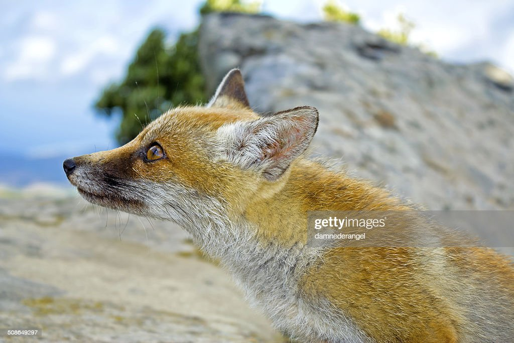 Red orange wild fox looking  close up : Stock Photo