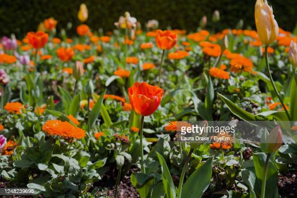 red, orange, yellow and pink dutch tulips in san francisco's golden gate park - sanduíche stock pictures, royalty-free photos & images