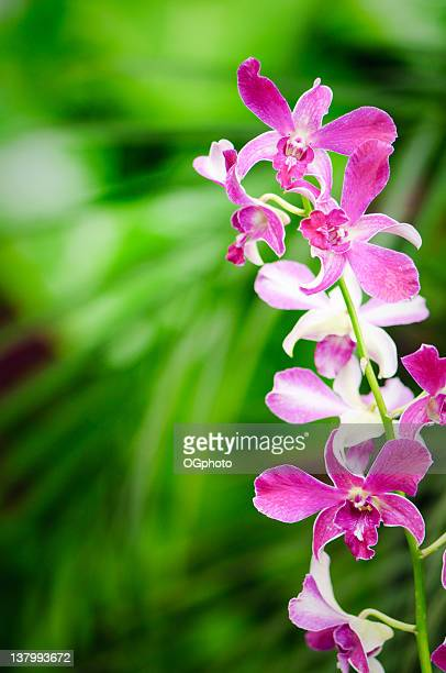 red orchids - ogphoto stock photos and pictures