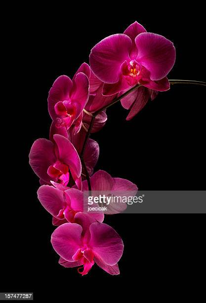 Rojo Orchids