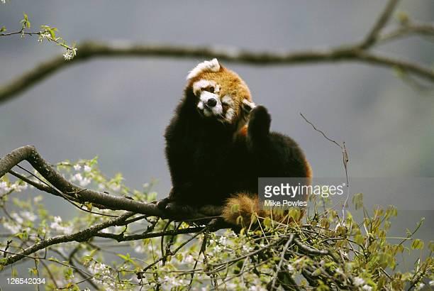 red panda ailurus fulgens fulgens sichuan, china