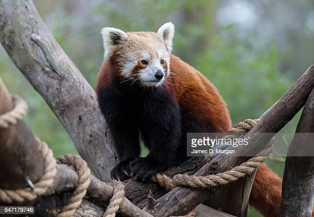 Red panda at Melbourne Zoo on July 14, 2016 in Melbourne, Australia. Melbourne is currently experiencing a cold snap, with hail and frosty winds...