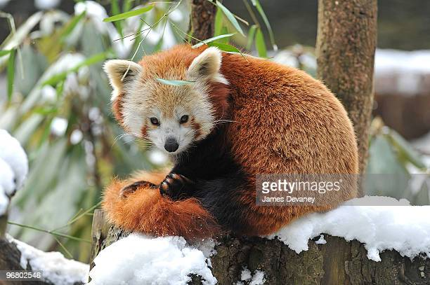 Red panda at the Bronx Zoo on February 17 2010 in New York City