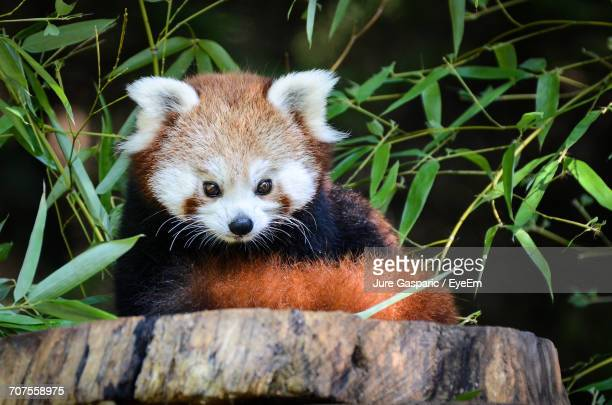 red panda at zoo - red panda stock pictures, royalty-free photos & images