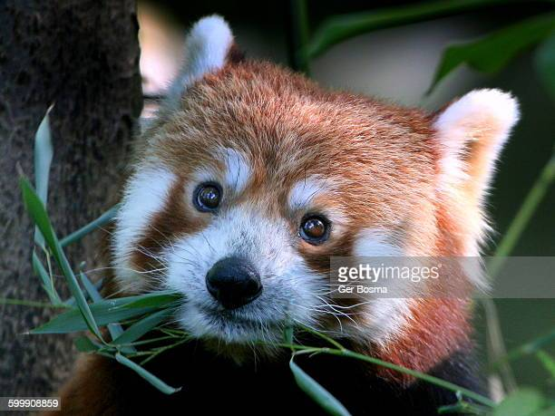 red panda, beady eyes - red panda stock pictures, royalty-free photos & images