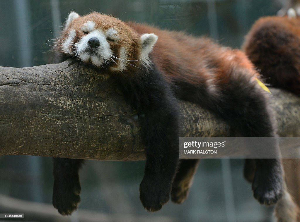 A Red Panda Bear sleeps in the Panda Bear enclosure at the Beijing Zoo on May 22, 2012. The zoo grounds were originally a Ming Dynasty imperial palace and finally opened to the public in 1908. The zoo's history states that during the WWII, most of the zoo's animals died of starvation with only 13 monkeys and one old emu surviving the war. AFP PHOTO/Mark RALSTON