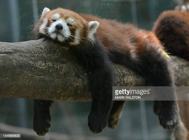 A Red Panda Bear sleeps in the Panda Bear enclosure at the Beijing Zoo on May 22 2012 The zoo grounds were originally a Ming Dynasty imperial palace...