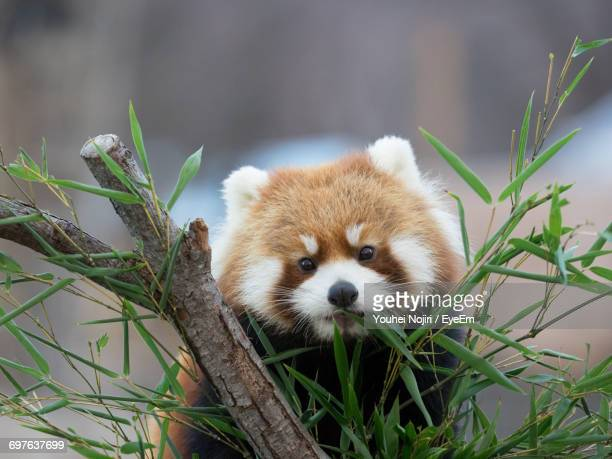 red panda behind plants - red panda stock pictures, royalty-free photos & images