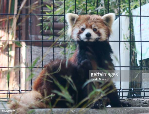 A red panda called Meita is seen at the Chiba Zoological Park in Chiba near Tokyo on Feb 16 2017 Meita who was born in June 2014 was originally...