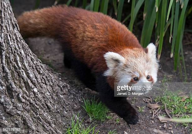 Red panda cub at Melbourne Zoo on July 14, 2016 in Melbourne, Australia. Melbourne is currently experiencing a cold snap, with hail and frosty winds...