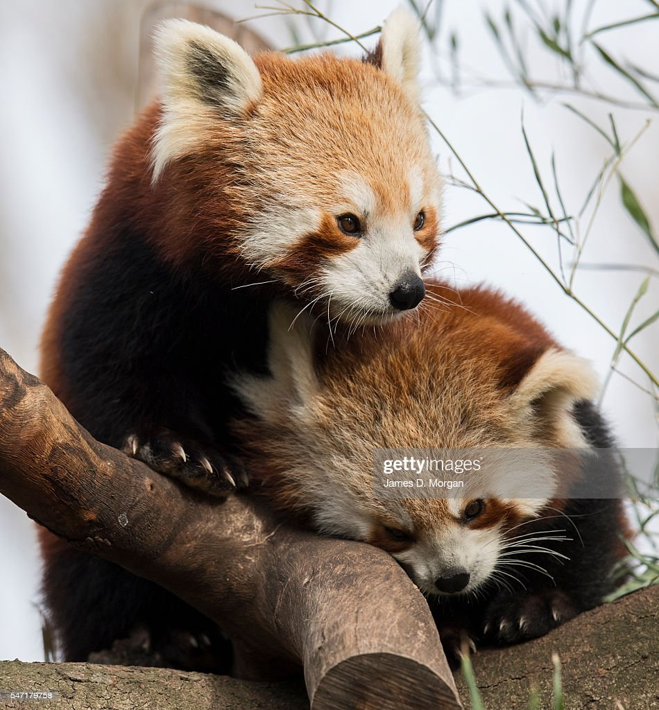 A Red Panda Cub Mother And Her New Cub At Melbourne Zoo On