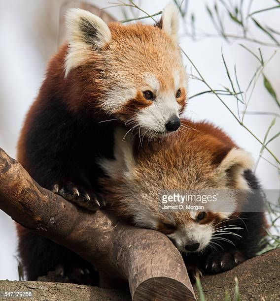 Red panda cub mother and her new cub at Melbourne Zoo on July 14, 2016 in Melbourne, Australia. Melbourne is currently experiencing a cold snap, with...