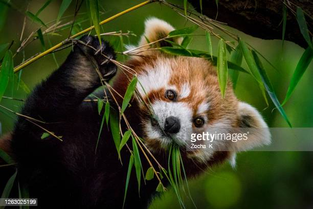 red panda eating bamboo leaves - threatened species stock pictures, royalty-free photos & images