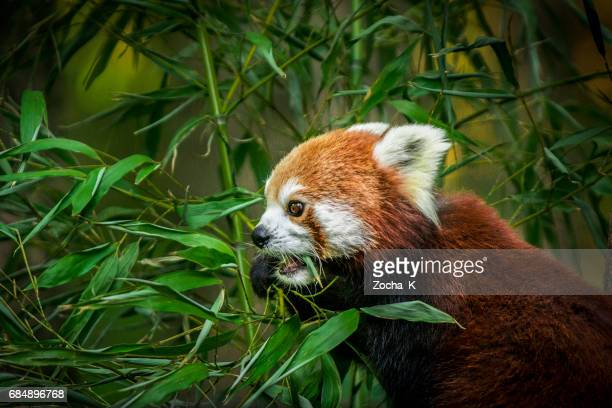 red panda eating bamboo leaves - panda animal stock photos and pictures