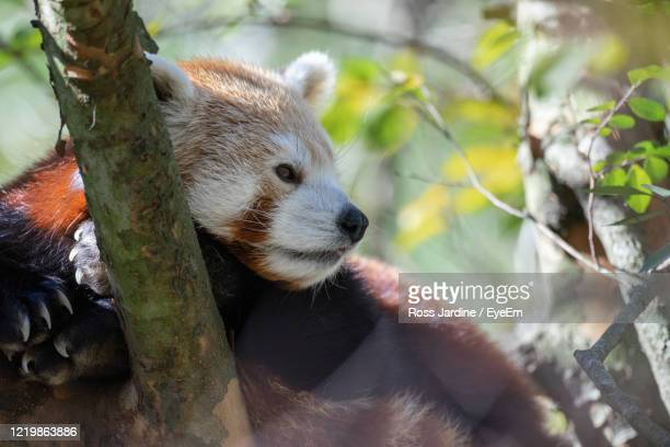 red panda in a tree - batemans bay stock pictures, royalty-free photos & images