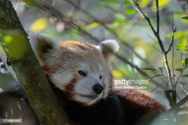 red panda in a tree. - batemans bay stock pictures, royalty-free photos & images