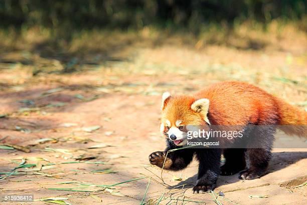 red panda in Chengdu ( Sichuan ; China )