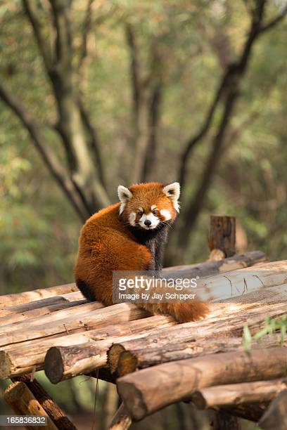 red panda in china - red panda stock pictures, royalty-free photos & images