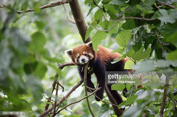red panda (ailurus fulgens) in tree - red panda stock pictures, royalty-free photos & images