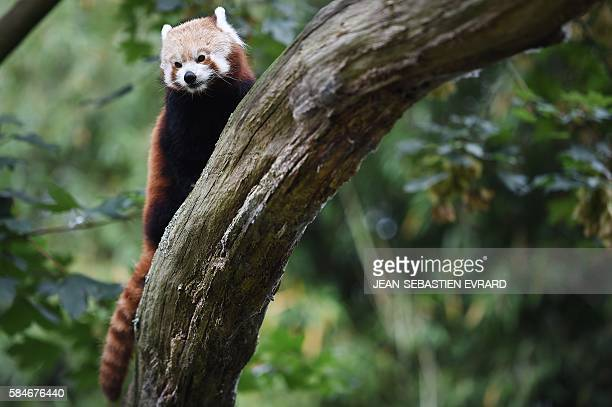 Red panda is pictured at the zoo of Branfere on July 29, 2016 in Le Guerno, western France. A the zoologic parc of Bransfere, the Nicolas Hulot...