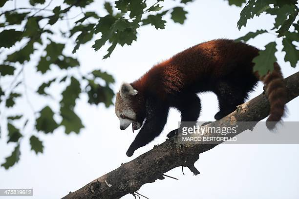 A Red Panda is pictured at the Zoom Torino a zoological park in Cumiana near Turin on June 3 2015 Two young red pandas coming from an English park...