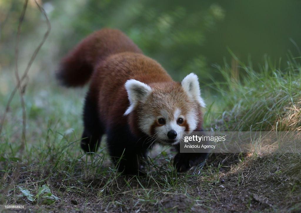 International Red Panda Day : News Photo