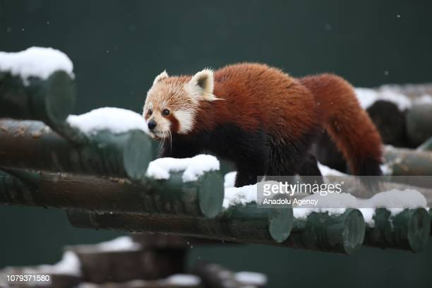 A red panda is seen at the Bursa Zoo after a snowfall in Bursa Turkey on January 8 2019