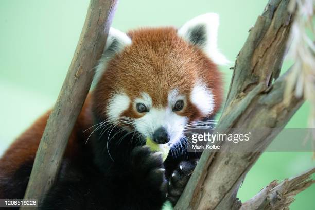 A red panda is seen in its enclosure at Sydney Zoo on February 24 2020 in Sydney Australia Sydney Zoo located at Bungarribee Park in Western Sydney...
