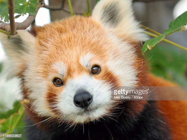 red panda looking at camera - red panda stock pictures, royalty-free photos & images