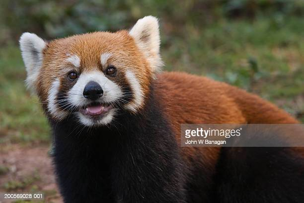 red panda (ailurus fulgens) looking at camera - red panda stock pictures, royalty-free photos & images