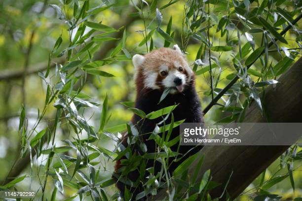red panda on branch - red panda stock pictures, royalty-free photos & images