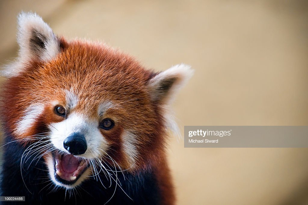 This image is of a smiling Red Panda (Ailurus fulgens). This animal is also known as Lesser Panda,and shining cat.