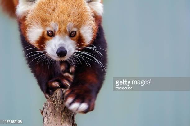 red panda (ailurus fulgens) - panda animal stock pictures, royalty-free photos & images