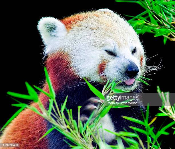 red panda - chester zoo stock pictures, royalty-free photos & images