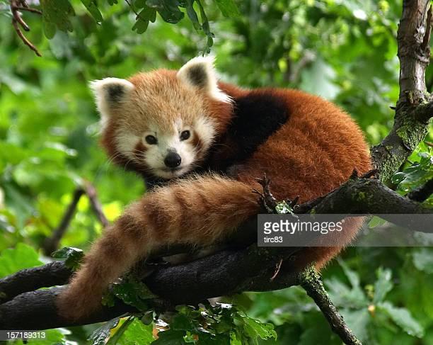 petit panda - panda photos et images de collection