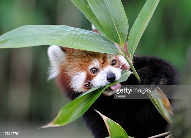 red panda - red panda stock pictures, royalty-free photos & images