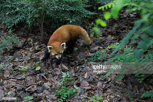 A red panda plays at Chengdu Research Base of Giant Panda Breeding on June 23 2014 in Chengdu China Chengdu Research Base of Giant Panda Breeding is...
