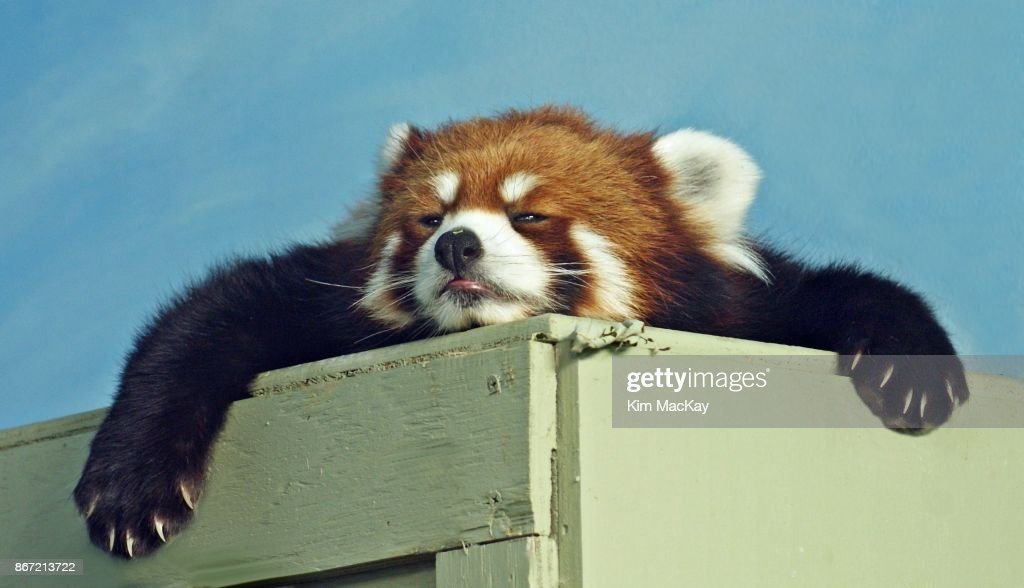 Red Panda ready for a nap : Stock Photo