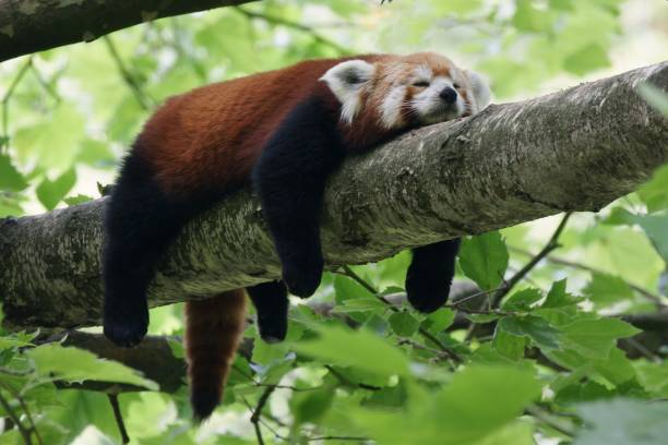 Red Panda Relaxing Branch Germany - Fine Art prints