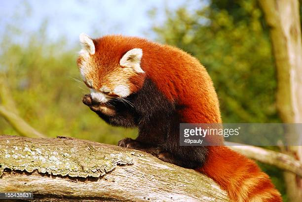 red panda sitting high up on a tree trunk. - red panda stock pictures, royalty-free photos & images