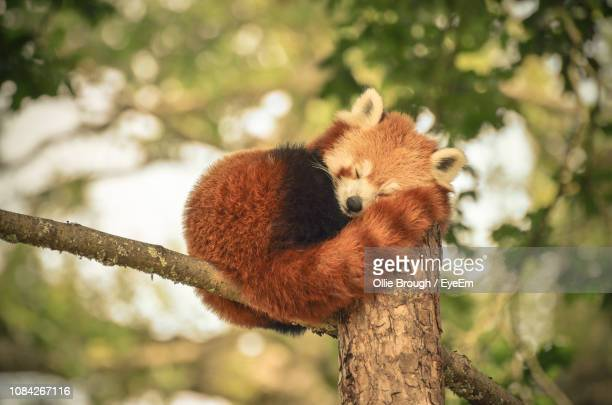 red panda sleeping on tree - red panda stock pictures, royalty-free photos & images