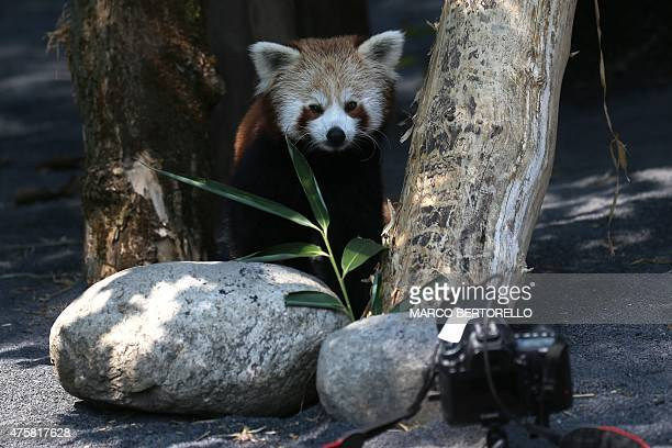 A Red Panda stands in front of a remote controlled camera at the Zoom Torino a zoological park in Cumiana near Turin on June 3 2015 Two young red...