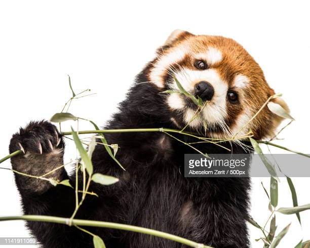 red panda xiv - red panda stock pictures, royalty-free photos & images